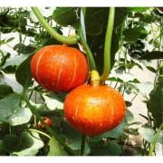 Тыква мелкоплодная Оранж Сан (5 сем.)